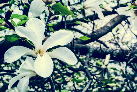 magnolia branch: Beautiful white magnolia flower on a branch close-up