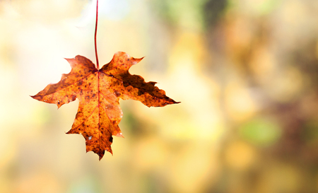 bright autumn orange maple leaf on a color blurred background Stock Photo