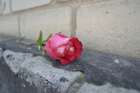 foundation cracks: pink rose on a brick foundation with a resin Stock Photo