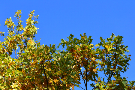 is cloudless: Autumn oak branch with yellowed dry leaves against the blue cloudless sky Stock Photo