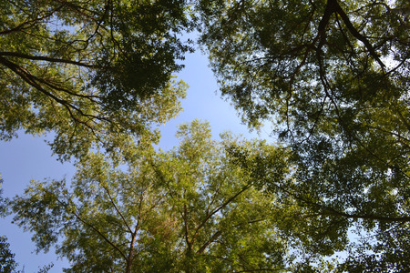 marge: marge deciduous forest in summer sunny day view from below