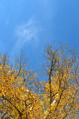 marge: autumn poplar with orange dry leaves against the blue cloudless sky Stock Photo