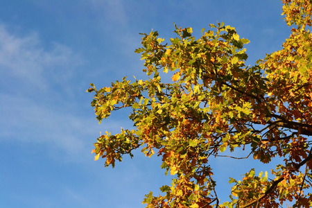 marge: Multicolored autumn oak leaves against the blue cloudless sky Stock Photo