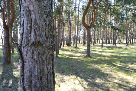bark peeling from tree: trunk of a pine tree on the background of the spring forest