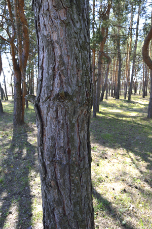 bark peeling from tree: pine trees on a sunny day in spring Stock Photo