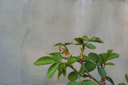 maturing: branch of maturing rose near the concrete wall Stock Photo