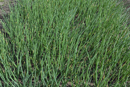 implanting: Plantation spring harvest green onions in the garden