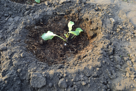 deepening: of cabbage seedlings planted in the ground groove Stock Photo