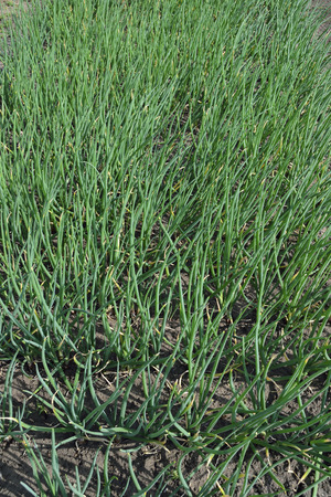 implanting: Harvest green onions on the plantation land