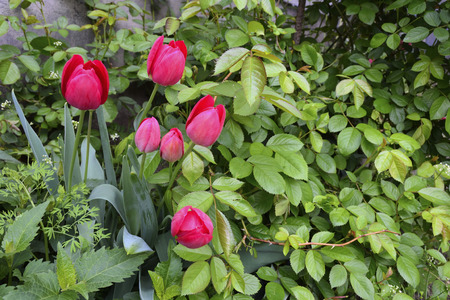 bud weed: winding bush roses and red tulips in the garden Stock Photo