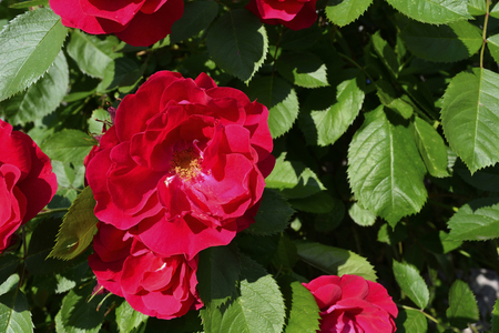 red bush tea: curling red bush tea roses in the garden