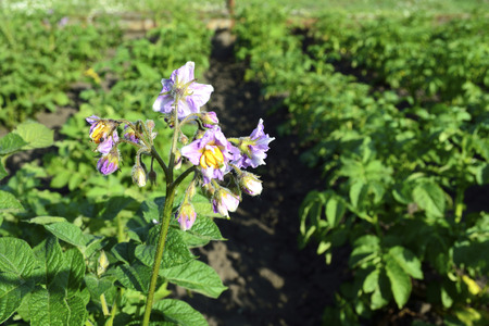 maturation: blooming potatoes in the vegetable garden on a sunny day