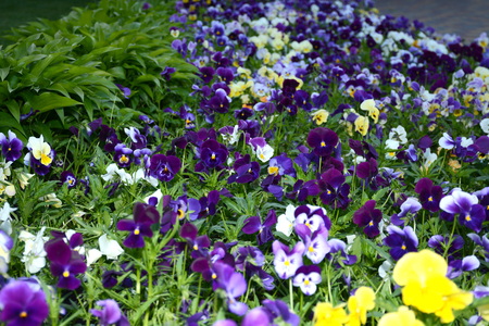Pansy flower blooming in the garden