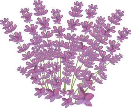 Lavender seamless pattern, vector background, flower illustration on a white background, pattern for design, botanical bouquet, Provence, medicine, pink Banque d'images - 124050824