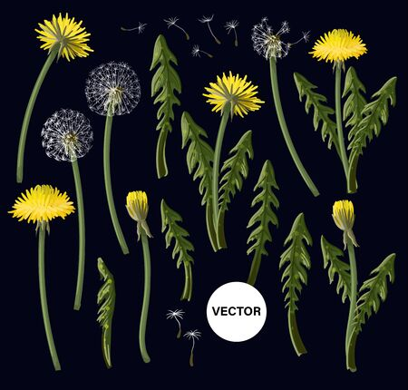 Flowers dandelion isolated on black background.