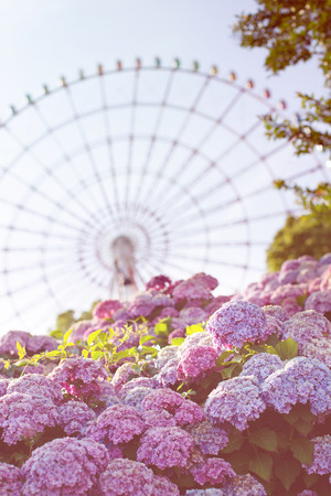 Blooming Japanese hydrangeas flowers ajisai and a ferris wheel. Bright summer concept. Amusement park.