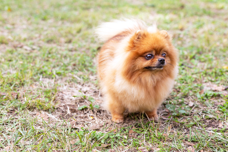 Cute Pomeranian spitz dog is looking away. Walk with pet concept. Outdoor activities with a dog. Copy space for your text.