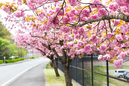 Beautiful cherry blossom or sakura background. Spring concept. Soft focus. Copy space for your text.