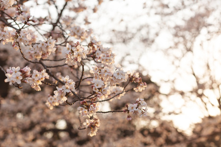 Beautiful cherry blossom or sakura background. Spring in Japan concept. Many flowers.