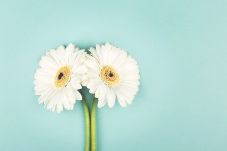Two beautiful white gerberas on light green background. Flat lay, top view. Copy space for your text.