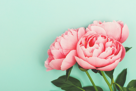 Pink peony flowers on light green background. Greeting with Birthday or holiday concept. Flat-lay, top view. Copy space.