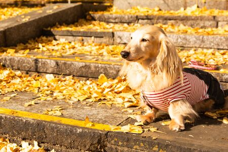 Autumn composition with cute dog and autumn leaves. Enjoy autumn season. Stock fotó