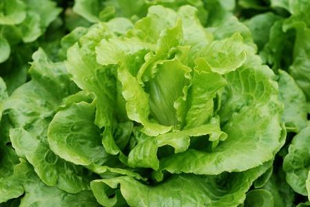 The lettuce grown in vegetable plots photo
