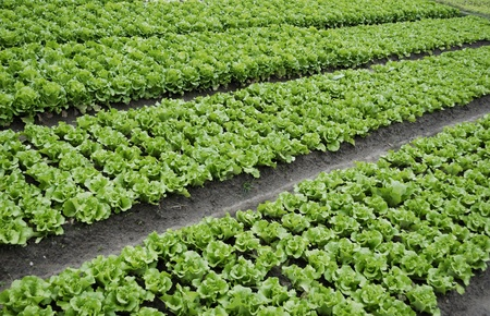 The lettuce grown in vegetable plots Stock Photo - 10841309