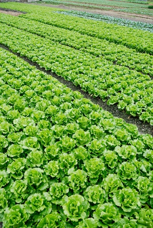 Farmland, vegetable field is growing on a variety of vegetables, photo