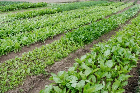 organic farming: Grows in the vegetable plots of various vegetables,