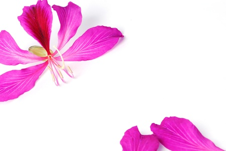 ornamental horticulture: Hong Kong Orchid blossoms isolated on a white background