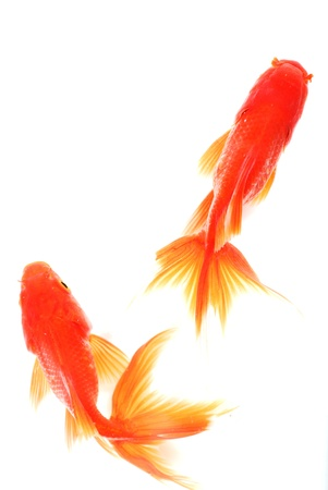 pez dorado: Goldfish aislado en un fondo blanco