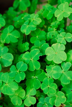 Covered with dew of the clover background closeup Stock Photo - 11352911