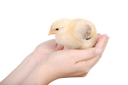 Hand holding a chicken, isolated on a white background photo