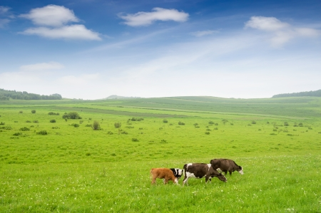 Landscape with grazing calves photo