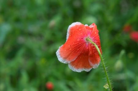 Poppy flower in the sky photo