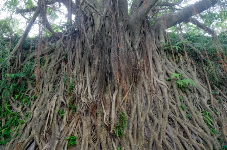 Banyan tree in guangdong,china photo