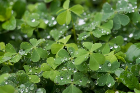 three leafed: green clover background