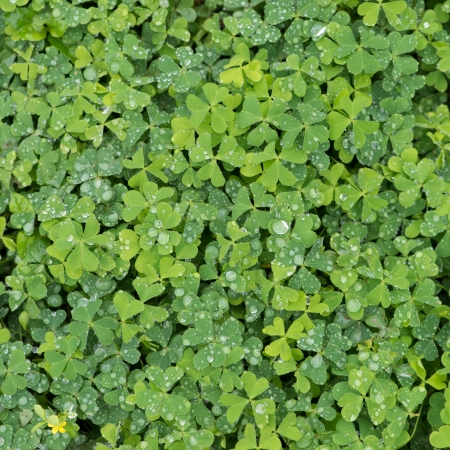 green clover background Stock Photo - 20130628
