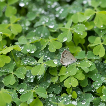 green clover background Stock Photo - 20130308