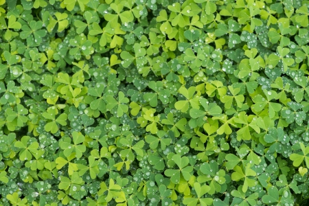 fortunateness: green clover background