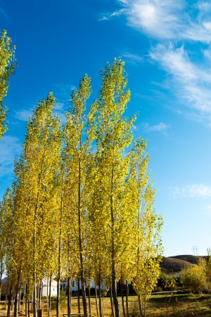 White fall birch trees with autumn leaves in background photo