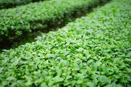 Aerial photo of tea garden landscape