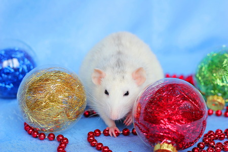 Rat among Christmas toys on blue background . Happy New year 2020. Chinese horoscope. year of rat.