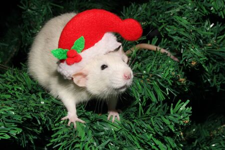 A rat in a Christmas hat, a Christmas mouse. Christmas white rat on the background of an artificial Christmas tree. Symbol of the new 2020 in the Chinese calendar. New year and Christmas concept.