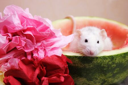 White rat sitting in half a watermelon. Symbol of the new year 2020 Stok Fotoğraf