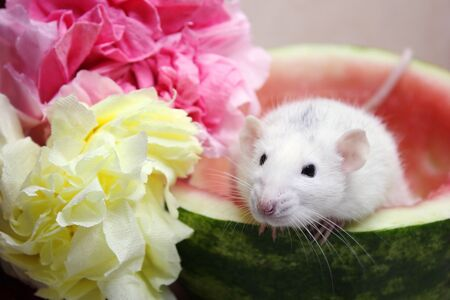 White rat sitting in half a watermelon near colorful flowers from napkins. Symbol of the new year 2020