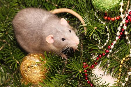 Grey rat on the background of a natural Christmas tree. Symbol of the new year 2020 in the Chinese calendar. New year and Christmas concept.