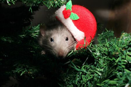 A rat in a Christmas hat, a Christmas mouse. Grey rat on the background of an artificial Christmas tree. Symbol of the new year 2020 in the Chinese calendar. New year and Christmas concept. Stok Fotoğraf
