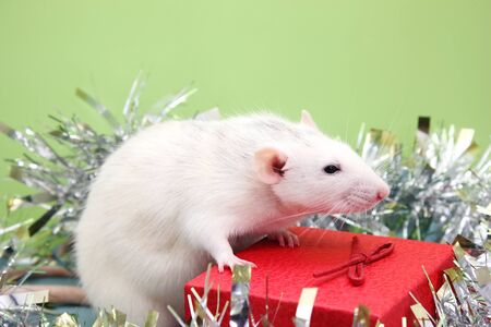 A white rat on a red gift box among the tinsel. Symbol of The new year 2020 on the Chinese calendar. Archivio Fotografico